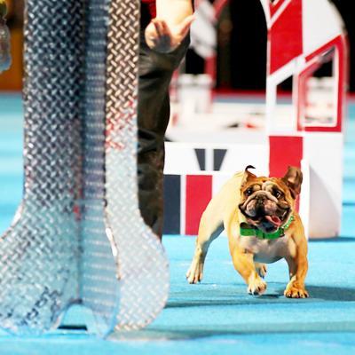 Bulldog doing agility